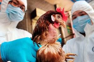 О мероприятиях по  недопущению   гриппа птиц на территорию  Агаповского муниципального района